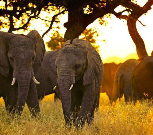 Gutes tun leicht gemacht: Amarula in limitierter Geschenkverpackung kaufen und Elefanten schützen